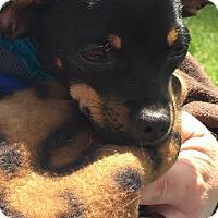 Adopt A Pet :: Rollo - Kirkland, WA