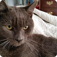 Domestic Shorthair Cat for adoption in Orlando-Kissimmee, Florida - Kermit