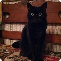 Domestic Shorthair Cat for adoption in Lexington, Kentucky - Sequin
