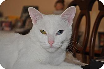 Domestic Shorthair Cat for adoption in Burlington, Ontario - Trouble