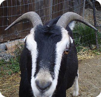 Goat for adoption in Quilcene, Washington - Barney