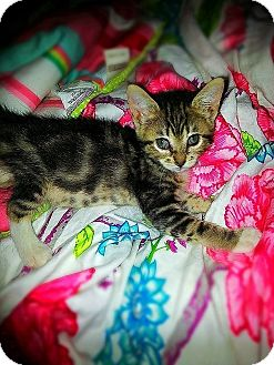 Domestic Shorthair Kitten for adoption in Tampa, Florida - Stumbles
