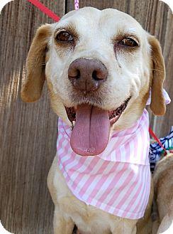 Beagle/Labrador Retriever Mix Dog for adoption in Apple Valley, California - Bella Ella