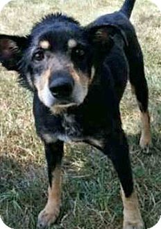Shepherd (Unknown Type) Mix Dog for adoption in Gahanna, Ohio - Ozzy