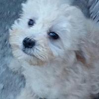 Poodle (Miniature)/Maltese Mix Puppy for adoption in Phoenix, Arizona - Sammy