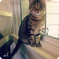 Domestic Shorthair Cat for adoption in St.Ann, Missouri - Asia