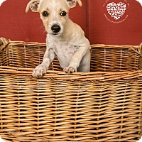 Chihuahua/Terrier (Unknown Type, Small) Mix Puppy for adoption in Inglewood, California - Fred