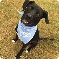 Adopt A Pet :: Bo - Huntsville, AL