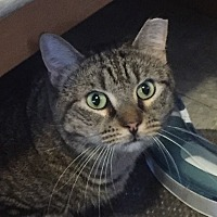 Domestic Shorthair Cat for adoption in New York, New York - Beautiful Trudy