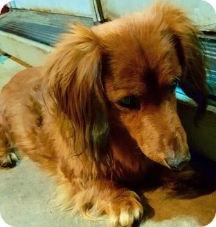 Dachshund Dog for adoption in Portland, Oregon - BUSTER