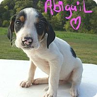 Adopt A Pet :: Abigail - Burlington, VT