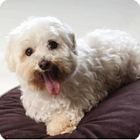 Maltese Dog for adoption in Denver, Colorado - Glenda