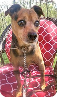 Norwich Terrier/Miniature Pinscher Mix Dog for adoption in Canterbury, Connecticut - Teddy