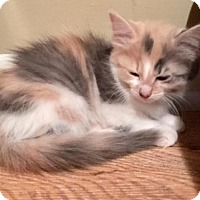 Adopt A Pet :: Priscilla - Sterling Heights, MI