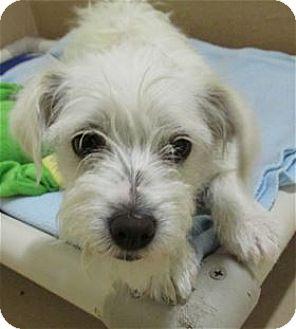 Standard Schnauzer/Westie, West Highland White Terrier Mix Dog for adoption in Pleasanton, California - SNOWY