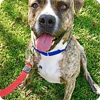 Boxer/Pit Bull Terrier Mix Dog for adoption in Portland, Oregon - Carter