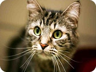 Domestic Mediumhair Cat for adoption in Louisville, Kentucky - PRETTY GIRL