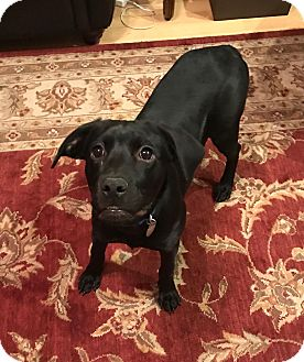 Labrador Retriever Mix Dog for adoption in PORTLAND, Maine - Delilah