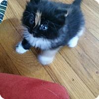Adopt A Pet :: 8 Week Old Kittens - Warwick, RI