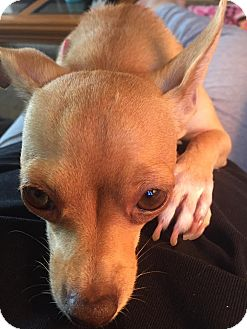Chihuahua Mix Dog for adoption in AUSTIN, Texas - Dee Dee