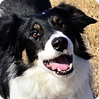Adopt A Pet :: Callum - Bellevue, NE