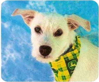 Westie, West Highland White Terrier Mix Dog for adoption in Scottsdale, Arizona - Marvin