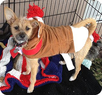 Terrier (Unknown Type, Small)/Chihuahua Mix Dog for adoption in Phoenix, Arizona - Marci