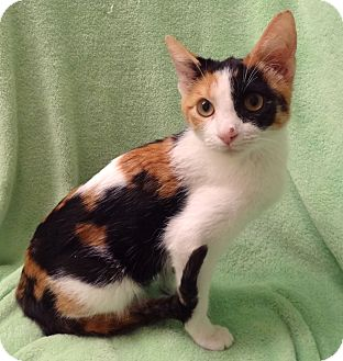 Domestic Shorthair Kitten for adoption in Bentonville, Arkansas - Cherie