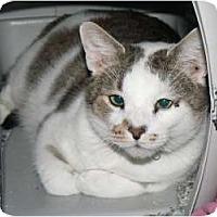 Domestic Shorthair Cat for adoption in Stafford, Virginia - Gunny