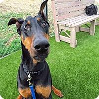 Adopt A Pet :: Hawk - Meridian, ID