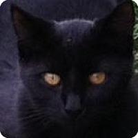 Adopt A Pet :: Black Orchid (Joan's kitten) - Medford, NJ