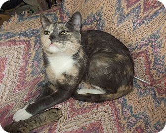 Calico Cat for adoption in Mesa, Arizona - Candy