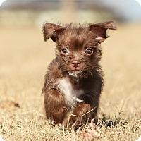 Adopt A Pet :: *Lil' Pip - PENDING - Westport, CT