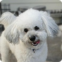 Adopt A Pet :: Bodi - Walnut Creek, CA