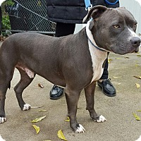 American Staffordshire Terrier/American Bulldog Mix Dog for adoption in El Dorado Hills, California - Ike