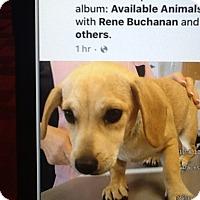 Adopt A Pet :: Sugar bear - springtown, TX