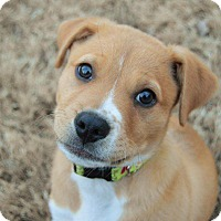 Adopt A Pet :: Ozzy - Hagerstown, MD