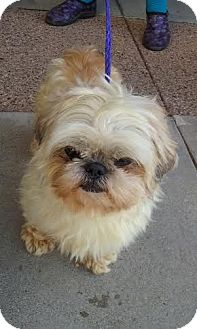 Shih Tzu Dog for adoption in San Fernando Valley, California - Kiss Me Kate