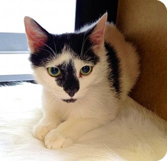Domestic Shorthair Cat for adoption in Richmond Hill, Ontario - Cash