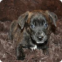 Adopt A Pet :: Janet (puppy) - Crocker, MO