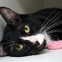 Domestic Shorthair Cat for adoption in New City, New York - Mishu