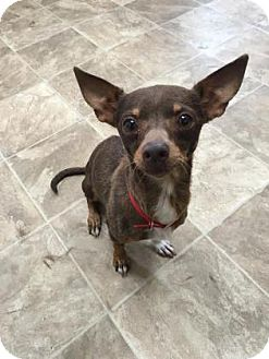 Chihuahua Mix Dog for adoption in Chico, California - Andrina