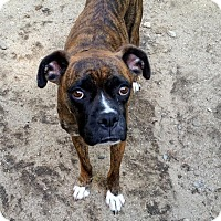 Boxer Dog for adoption in Portland, Maine - AXL