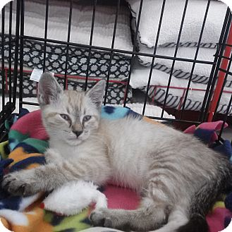Siamese Kitten for adoption in Alamo, California - Loki