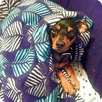 Miniature Pinscher Dog for adoption in Pittsburgh, Pennsylvania - Goblin
