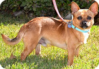 Welsh Corgi/Chihuahua Mix Dog for adoption in Simi Valley, California - Bolt