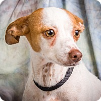 Jack Russell Terrier Mix Dog for adoption in Anna, Illinois - JEMMA