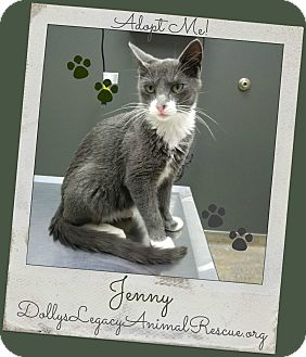 Russian Blue Cat for adoption in Lincoln, Nebraska - JENNY
