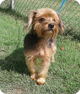 Yorkie, Yorkshire Terrier/Poodle (Miniature) Mix Dog for adoption in Cannelton, Indiana - Paylen