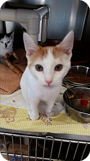 Domestic Shorthair Kitten for adoption in Chippewa Falls, Wisconsin - Frances